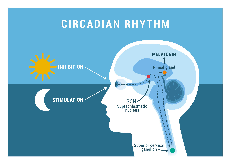 CircadianRythm-melatonin