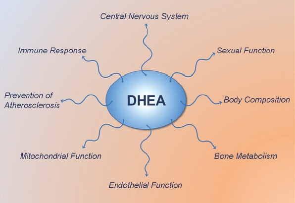 DHEA-effects-Benefits.jpg
